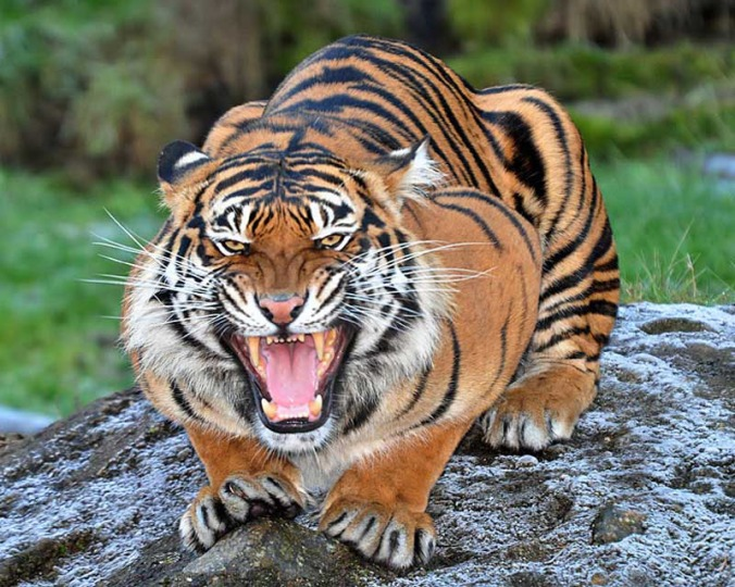 Fierce Tiger